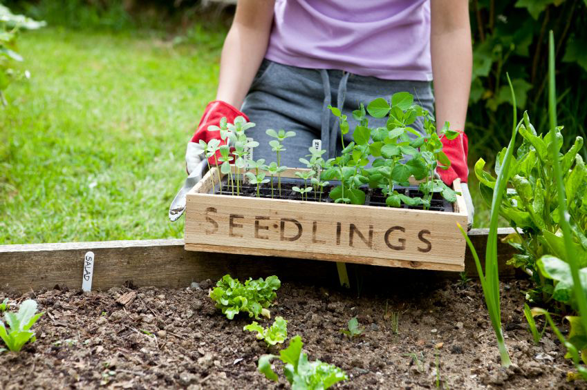Gardener with Wooden Seedling Tray